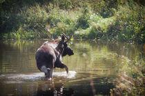 Moose in Forest Lake von cinema4design