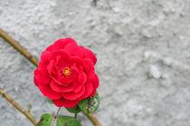 Flowers 0096 von Mario Fichtner
