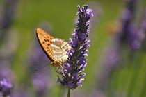 Schmetterling auf Lavendel von Shari Lindenberger