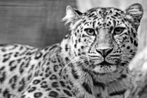 Face To Face With A Leopard von Sascha Richartz