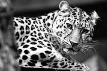Face To Face With A Leopard (2) von Sascha Richartz
