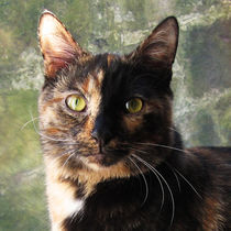 Tortoiseshell cat looking at camera eyes close up by Linda More