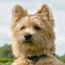 Cairn Terrier cute dog von Linda More