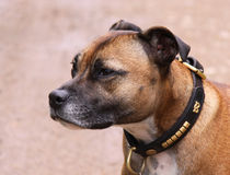 Staffordshire Bull Terrier dog by Linda More