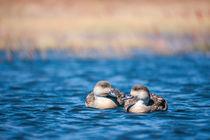 Zwei Enten by Steffen Klemz