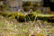 Gras-einzelner-halm