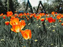 Leuchtendes Tulpenfeld  von Marianne Drews