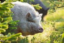 Schwein zwischen Tannen by gilidhor