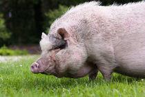 Schwein im Gras von gilidhor