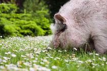 Schwein im Gras by gilidhor