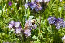 Honigbiene auf einer Blüte by gilidhor