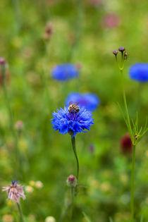 Biene auf Kornblume by gilidhor