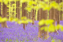 Bluebell forest in full bloom von Sara Winter