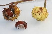 chestnut  by hadot