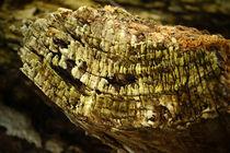 Holz einer alten hohlen Pappel von Sabine Radtke