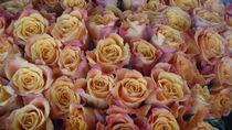 rosen by tombom