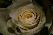 White Rose von Andreas V.