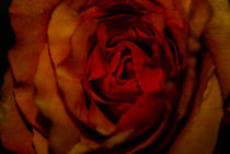Red Rose von Andreas V.