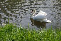Weißer Schwan, white swan von Sabine Radtke