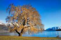 Lakeside tree. by David Hare