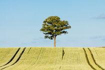 Baum am Feldrand by Rico Ködder
