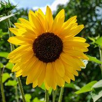 Sonnenblume von Ralf Warnecke