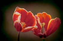 Tulpen in Rotweiß von Marianne Drews