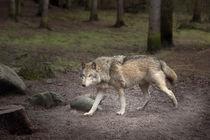 wolf by Manfred Hartmann