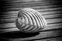 Sea shell on wood by David Hare
