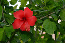 Hibiscus von Usha Shantharam