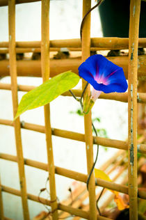Morning Glory by Usha Shantharam