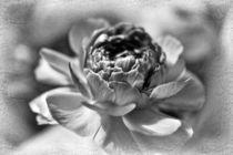 Blütenhauch schwarz-weiss von leddermann