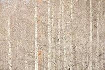Aspen Trees by Daniel Troy