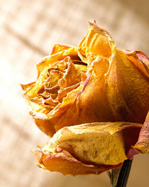 Dried Rose by Daniel Troy