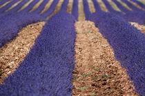 Lavendelfelder by Susanne Schröder