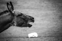 Heulen! by hoernet-photographie
