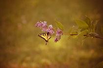 Schwalbenschwanz  von Marianne Drews