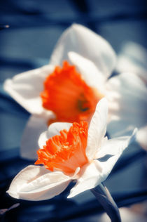 Narcissus Flower von cinema4design