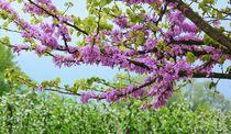 Blühende Obstbäume von gscheffbuch