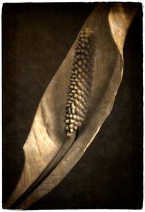 Spathiphyllum von Cesar Palomino