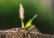lizard by Georgi Koncaliev