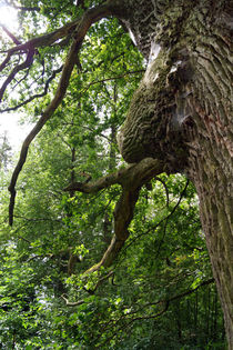 Stieleiche, oak von Sabine Radtke