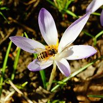 Bieneneinkehr auf Krokus von Sabine Radtke