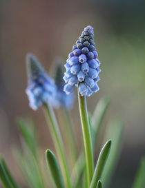 Blaue Traubenhyazinthen Makro. Blue grape hyacinth macro von Elvira Dauwitz
