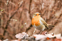robin by mark severn