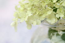Weiße Hortensienblüte in Vase, White hydrangea flower in vase, von Elvira Dauwitz