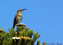 Cape Sugarbird von Herman Stadler