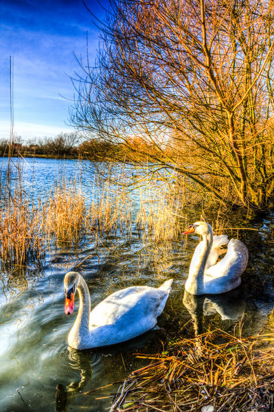 Swan-11