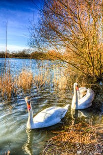Graceful Swans von David Pyatt