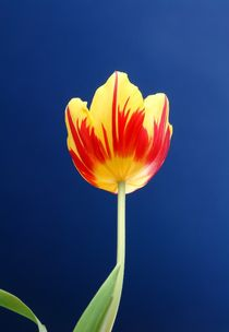 Tulpenblüte by Thomas Jäger